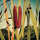 Survival Uses for Cattails